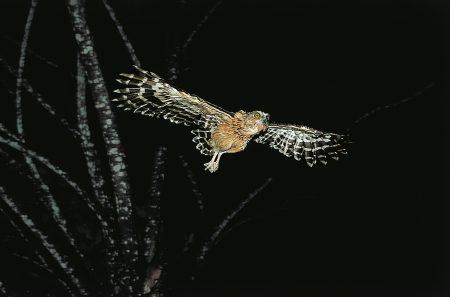 Bufffy Fish-Owl