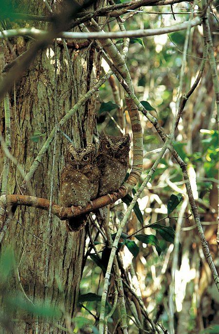 Sokoke Scops-Owl
