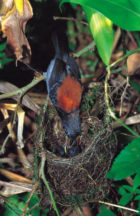 Black-hooded Antwren