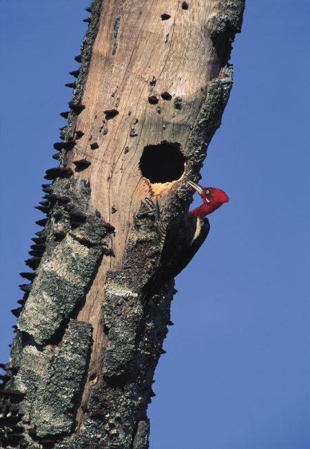 Robust Woodpecker